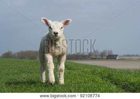 White lamb standing on green dike