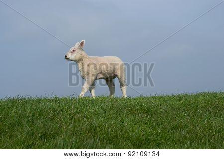 White lamb walking on dike
