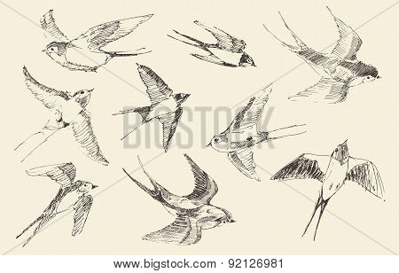 Swallows Flying Bird Vector, Hand Drawn, Sketch
