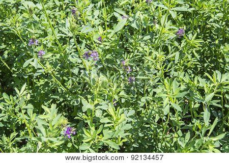 Medicago Sativa In Bloom (alfalfa)