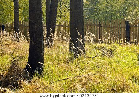 The Spruce Forest With The Wooden Fence
