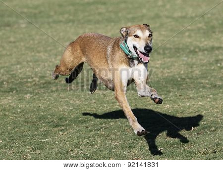 Whippet lurching while running