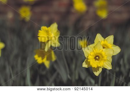 A Photo Of The Flower Daffodil With An Applied Vintage Filter
