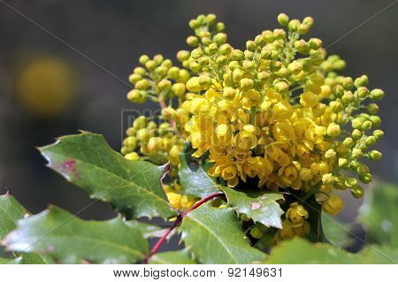 Oregon Grape in Bloom