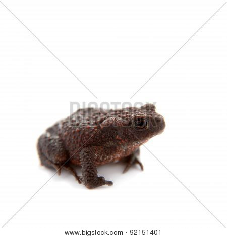 Common or European toad on white