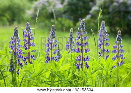Lupinus Polyphyllus. Blue Lupine Flowers.