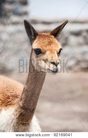 Cheerful Adorable Vicunia Looking At The Camera, Peru