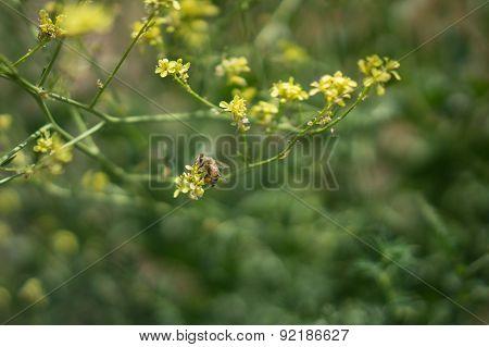 Bee On Yellow Mustard Blossom