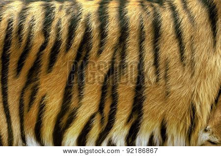 Texture Of Real Tiger Skin
