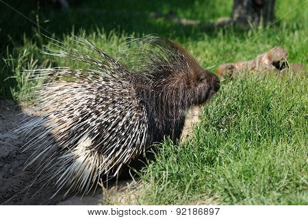 Porcupine (Hystricidae) in the grass in the natural environment poster
