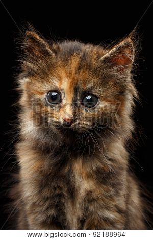 Closeup Cute Tortie Kitten On Black Background