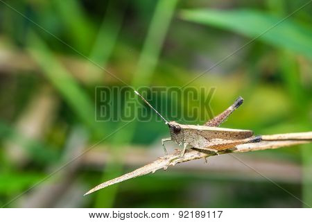Grasshopper On Branch