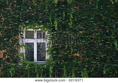 Window And Grapes