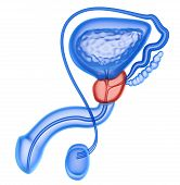 Prostate and male reproductive system isolated on white poster