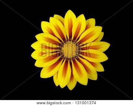 Yellow with red stripes gazania flower 'Red Stripe'.