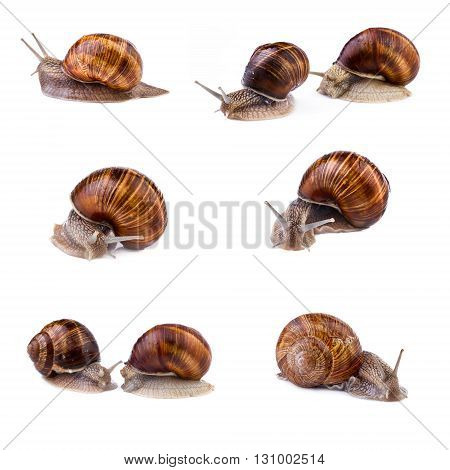 Snails garden snail collection. Snails (Helix pomatia) isolated on white background.
