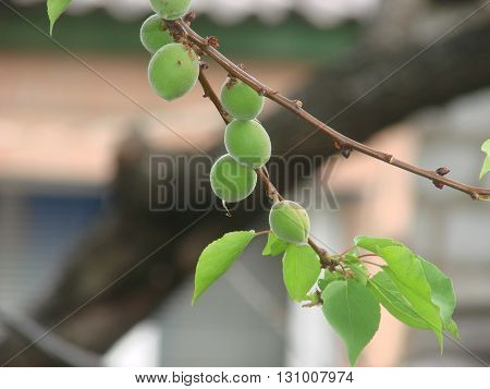 green unripe apricots on a tree branch.