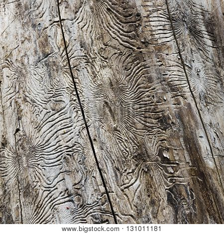 Spring from the trunk of an old tree bark crumbled, revealing the intricate patterns left by the larvae of the bark beetle. Sokolniki Park. Moscow. Russia.