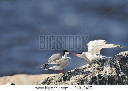 Birds Courtship Common Tern. Adult Common Terns (sterna Hirundo).