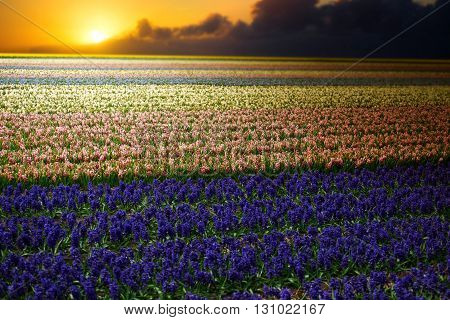 Hyacinth. Beautiful Colorful Pink, White, Yellow And Blue Hyacinth Flowers