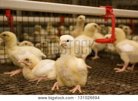 Two-week broiler chickens at the poultry farm