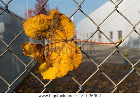 yellow maple leave caught on a wire fence