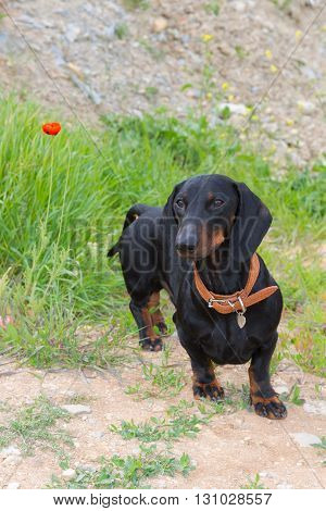 Dachshund in spring grass with blooming wild red poppy (Papaver rhoeas)