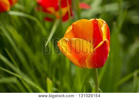 Single beuatiful red yellow tulip standing still at green grass background