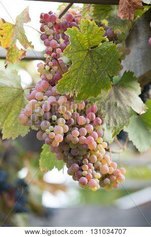 Bunches Of Grapes At A Vineyard #4