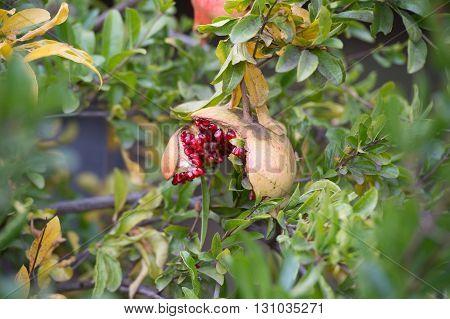 Ripe Pomegranate Fruit On The Tree #2