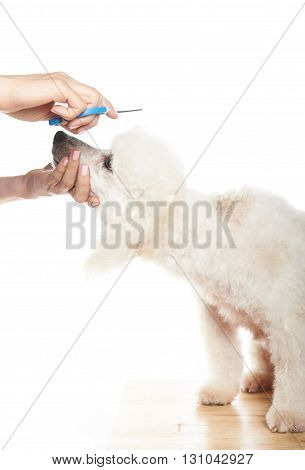 Poodle Getting Hair Cut