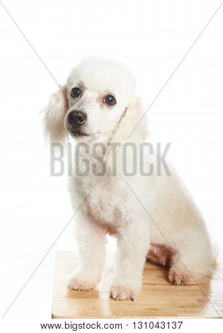 White Poodle On Table