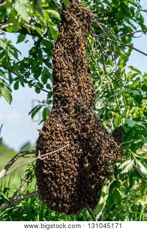Close view on the swarm of bees on the tree