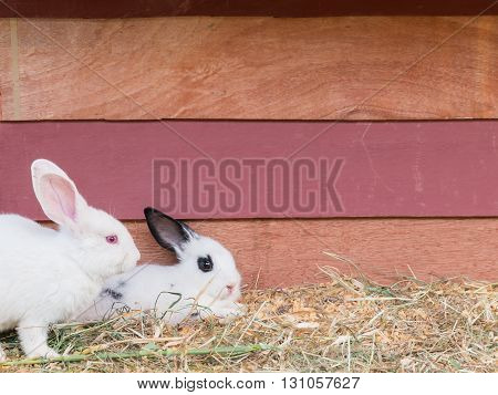 White rabbit sit at wooden cage with copy space