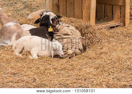 Sheep sleeping on hay ground, copy space