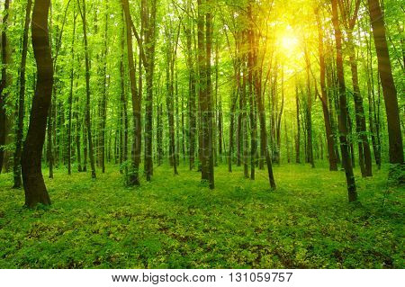 Forest with sunlight. The sun rays through branches of trees