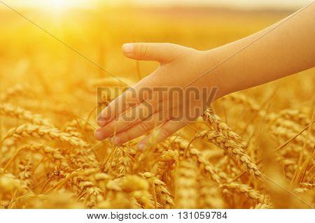 Hands of little girl in the wheat field on sun