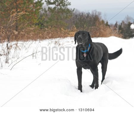 black labrador retriever standing in deep white winter snow poster