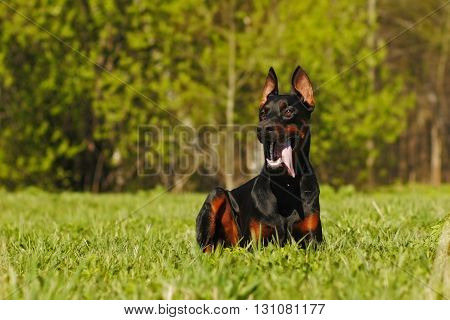 Beautiful dog Doberman lying on the grass in the summer and warily looks