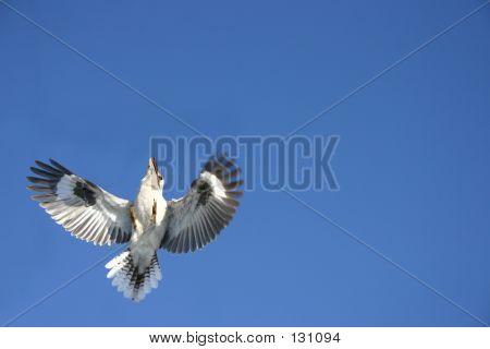 Australian Kookaburra Swoops
