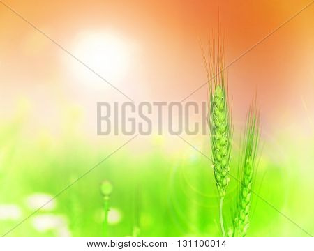 Grain field detail, lens flare and  sky