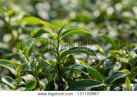 closeup fresh green tea leaves farm .