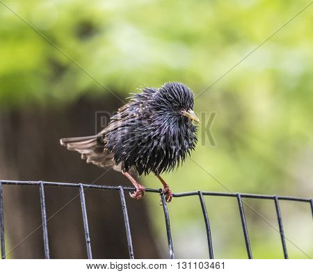 common starling Sturnus vulgaris also known as the European starling