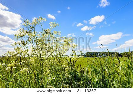 Close-up of wild chervil and flowering grasses in different flowering stages outlined against a blue sky.