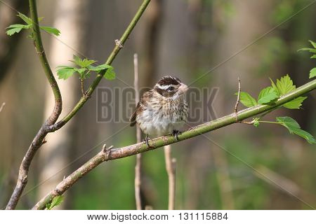 Rose-breasted Grosbeak female perched on branch in early morning sun