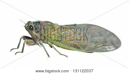 A close up of the cicada. Isolated on white.
