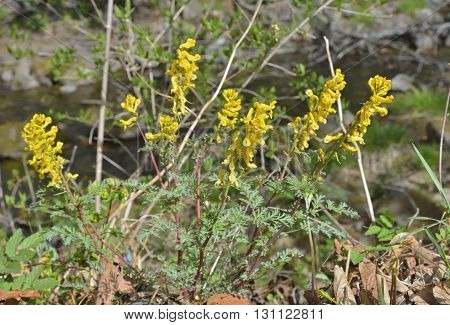 A close up of the yellow flowers birthwort (Corydalis). Early spring.