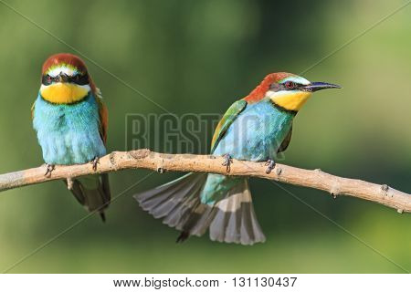 angry birds on a branch, colorful birds, angry emotions, bee eaters