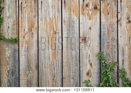 Weathered wooden boards backgound with some ivy vines climbing in the corner. Wooden fence covered with plants. Copy space.