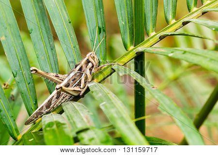 wrinkled grasshopper on young coconut tree leaf